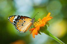 Imagem de Orange butterfly on flower, Thailand. fotos, gravuras e fotografias stock. Butterfly On Flower, Orange Butterfly, Types Of Butterflies, Beautiful Butterflies, Qhd Wallpaper, Dallas Arboretum, How To Attract Hummingbirds, Illustrations, Moth