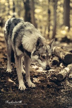 Wolf in the woods Wolf Images, Wolf Photos, Wolf Pictures, Animal Pictures, Beautiful Wolves, Animals Beautiful, Of Wolf And Man, Animals And Pets, Cute Animals