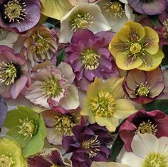 Helleborus Brandywine™ Strain Lenten Rose - Evergreen and very adaptable, they flower in late winter and early spring, poisonous, needs shade. LOVE these for under our Fringe Tree Perennial Flowering Plants, Shade Perennials, Flowers Perennials, Planting Flowers, Fall Planting, Shade Flowers, Shade Plants, Yellow Flowers, Shade Garden