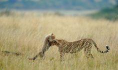 Masai Mara Nationalpark, Kenia