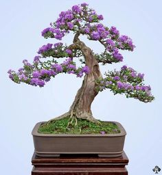 Bonsai styles are different ways of training your bonsai to grow the way you want it to. Get acquainted with these styles which are the basis of bonsai art. Bonsai Fruit Tree, Flowering Bonsai Tree, Mini Bonsai, Bonsai Plants, Bonsai Garden, Garden Trees, Trees To Plant, Succulents Garden, Air Plants