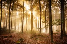 Golden Sunrise Brings Radiance to Foggy Forest - Wallpaper Foggy Forest, Misty Forest, Autumn Forest, Forest Light, Forest Wallpaper, Nature Wallpaper, Deco Panel, One Bedroom Flat, Sacred Groves