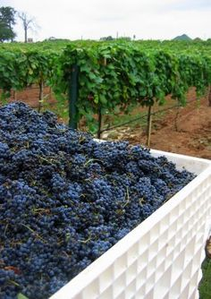 Luscious grapes in the vineyard | Live a luscious life with LUSCIOUS: www.myLusciousLife.com