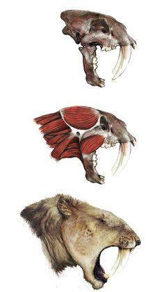 Huesos del cráneo y reconstrucción muscular y facial de Smilodon populator por Rodrigo-Vega. S. populator era un felino macairodóntido y posiblemente el mejor conocido de todos ellos. Además es el gato más grande conocido: su cabeza levantaba un metro y veinte centímetros del suelo.