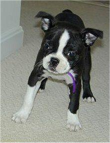 Boston Terrier  (Boston Bull) (Boston Bull Terrier)