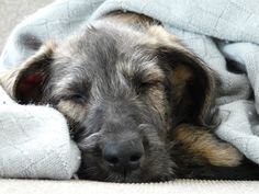 sleeping Irish Wolf Hound