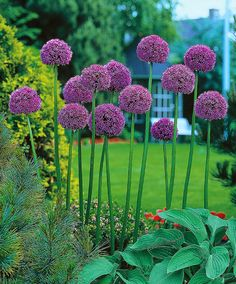 Allium 'Gladiator' ger magnifika ljuslila, bollformade blomhuvuden som är större än tennisbollar. De slår ut på starka stjälkar som växer ut mellan grågröna blad. Berika din vårträdgård med den här exceptionellt slående växten. De stora blommorna är 15-20 cm i diameter och är fantastiska, långlivade snittblommor. De här dekorativa lökarna ökar i popularitet, och förtjänar framträdande platser i både traditionella och nutida trädgårdar. Zon 4.