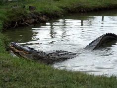 Damon Bailey gets Big Al to bellow at Gator Country in Beaumont, Texas in June of 2009