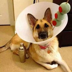 Dog Costume - Martini Drink Cone Of Shame: this dog will sure to be the life the party this Halloween! Best Dog Halloween Costumes, Pet Costumes, Costume Ideas, Happy Halloween, Halloween Ideas, Costume Contest, Diy Halloween Costumes For Dogs, Large Dog Costumes, Halloween Clothes