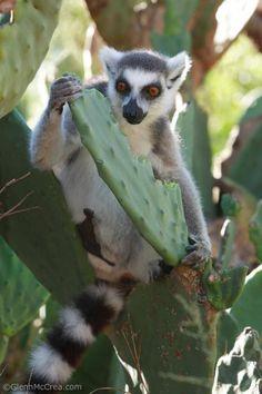 Ring-tailed Lemur (Lemur catta) eating prickly pear cactus, Nahampoana Reserve, Madagascar - Photography By Glenn McCrea  www.glennmccrea.com