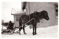Poku Malisen Toivon kanssa. Poku oli lempeä, ystävällinen ja ahkera työjuhta. Kuva saatu Heimo Maliselta. - Finnish horse