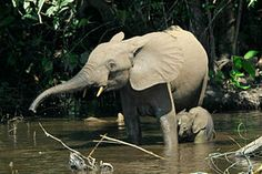 The African forest is a forest-dwelling species of elephant found in the Congo Basin. It is the smallest of the three extant species of elephant, but also the third-largest living terrestrial animal. African Forest Elephant, Asian Elephant, Elephant Love, Elephant Facts, Elephant Images, Elephant Species, Paises Da Africa, West Africa, Elephas Maximus