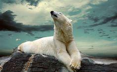 *** белый медведь *** вектор