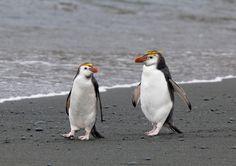 Royal penguin, Eudyptes schlegeli
