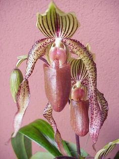 Lady's Slipper Orchid. Remember them in Montana when we went in the forest to mushroom hunt