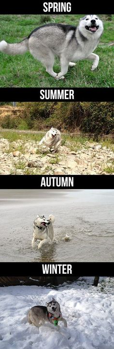 Funny Pictures - Husky during the seasons  Les 4 saisons du Husky ! printemps, été, automne, hiver !: Animals, Siberian Husky, Seasons, Funny Pictures, Happy Husky, Pet, Happy Dogs, Husky S