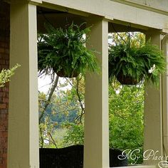 how to have hanging ferns that are the envy of the neighborhood, flowers, gardening, Every Spring I buy Boston ferns in hanging baskets at Lowe s or Home Depot Hanging Ferns, Hanging Baskets, Wire Baskets, Diy Hanging, Outdoor Planters, Outdoor Gardens, Fall Planters, Succulents Garden, Planting Flowers
