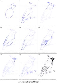 How to Draw Bohemian Waxwing step by step printable drawing sheet to print. Learn How to Draw Bohemian Waxwing Pencil Art Drawings, Bird Drawings, Art Drawings Sketches, Easy Drawings, Animal Drawings, Drawing Birds, Drawing Lessons, Drawing Techniques, Drawing Process