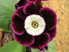 Primula auricula ?Harry Hotspur? ? one of the ?Alpine? types ☺☺☺