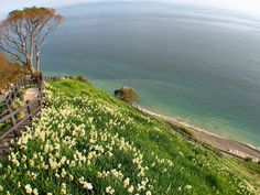 淡路島・灘黒岩水仙郷 水仙の群落と太平洋の風景