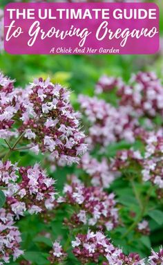 This post is full of everything you could ever need to know about growing, preserving and using oregano from your garden! #gardening #herbgardens #herbgarden #oregano #homesteadgarden #healinggarden #achickandhergarden