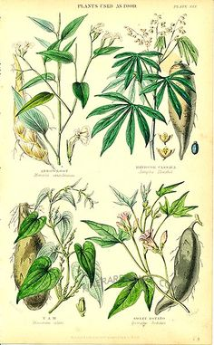 Arrow Root, Cassava, Yam, Sweet Potato:  Genuine antique print of Plants used as food from Vegetable Kingdom by William Rhind