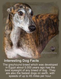 Interesting Dog Facts Greyhound dogs & sight