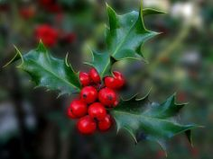 The placing of a ring of Holly on doors originated in Ireland as Holly was one of the main plants that flourished at Christmas time and which gave the poor ample means with which to decorate their dwellings. All decorations are traditionally taken down on Little Christmas (January 6th.) and it is considered to be bad luck to take them down beforehand.