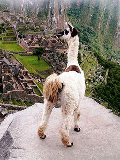 llama at machu picchu #peru