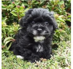holy cross moodle maltese/poodle miniature for sale | FOR SALE: Maltese x toy poodles ...