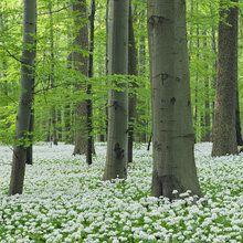 Fotobehang - Ramsons Forest