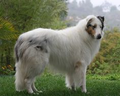 Prince was a white rough collie.  He didn;t really look like this, but a general idea.  Kay Byrd ran over him while he was laying on our station property.  STUPID!  Prince about killed Jasper's dog Brownie.  He was a good dog also.