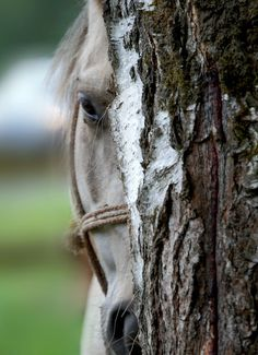 Sweetest horse face playing peek-a-boo from behind the tree.