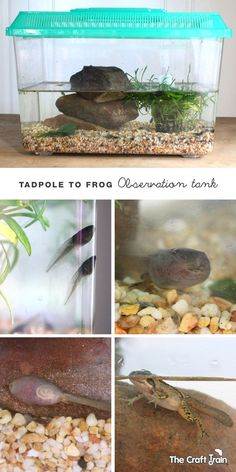Setting up a tadpole to frog observation tank - great for observing life cycle at home or in the classroom!