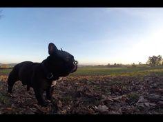 Bodeguero y Bulldog Francés (aguantando el ritmo) Chuqui aguanta el ritmo como puede | videos desde otro punto de vista