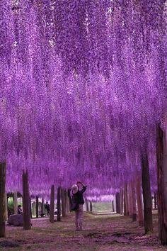 Tunnel of wisteria blossoms, Kawachi Fuji Gardens, Fukuoka, Japan... Beautiful  aunque sea de lugares para visitar lo pongo en plantas y flores porque lo veo así , lo veo precioso