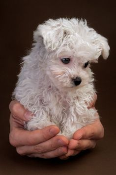 What a beautiful puppy. I NEED A #maltese RUNT #beautifulpuppies