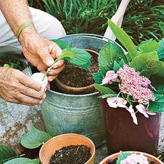 French Hydrangea: Root and Pass Along < Gardening 101: French Hydrangeas - Southern Living Mobile
