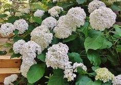 5 Must Have Shrubs with White Flowers (Annabelle Hydrangeas) - Redeem Your Ground | RYGblog.com