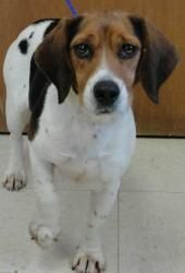 OHIO ~ URG't ~ meet Josie an #adoptable 3-4y/o 20bs #Beagle blend #Dog in Washington Court House. Josie is a stray so we don't know a lot about her. She is a bit shy but very friendly. We do not know if she has ever hunted.  If interested in this baby, she will be available for adoption after 2:00 p.m. on January 10, 2013.  Please come to the shelter or call us Fayette County Dog Pound   1550 Robinson Road   Washington C.H., OH 43160   Phone: (740) 335-6630