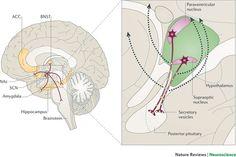 Oxytocin and vasopressin in the human brain: social neuropeptides for translational medicine