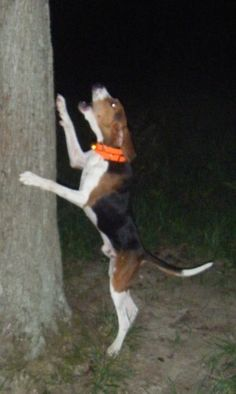 Walker Coonhound, Clary's HiSpeed This Buds 4 U, affectionaly known as `Bud`, treeing his quarry