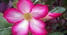 Aprenda a cuidar de uma Rosa-do-Deserto   Jardim das Ideias STIHL - Dicas de jardinagem e paisagismo