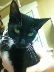 Sylvester is an adoptable Domestic Short Hair-Black And White Cat in Saint Charles, MO. Hi! I am a very sweet boy. I am very cuddly and I love to talk.     http://www.petfinder.com/petdetail/22622783