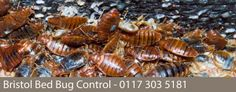 Bristol Pest Control: A Severe Bed Bug Infestation in Bristol Bed Bug Control, Pest Control, Organic Soil, Organic Gardening, Pulling Weeds, Bees And Wasps, Beneficial Insects, Garden Guide, Humming Bird Feeders