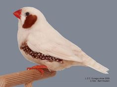 Zebra finch mutations the varieties and genetics of the - Gainesville craigslist farm and garden ...