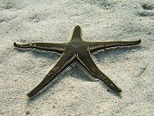 Astropecten bispinosus Sardegna06 3284.jpg