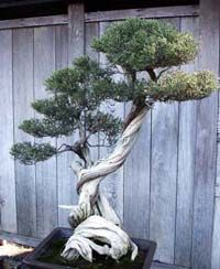 Master The Art Of Bonsai Tree Growing