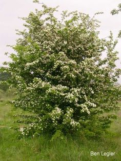 Common Hawthorn: 10-20 ft tall, might need more sun, not sure of growth rate, check with nursery to see what a specific variety needs