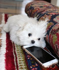 Maltese puppy wants to make a call.Adorable Maltese puppy wants to make a call. Cute Puppies, Cute Dogs, Dogs And Puppies, Doggies, Baby Animals, Cute Animals, Sweet Dogs, Maltese Dogs, Teacup Maltese